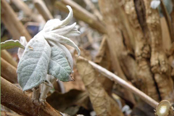 Sommerfuglebusken tror også på foråret i februar måned