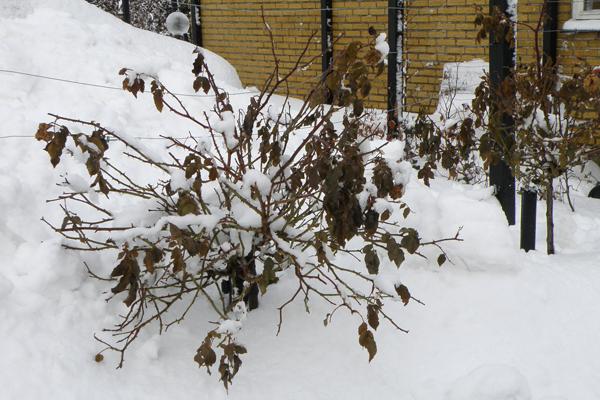 Opstammet roser i sne
