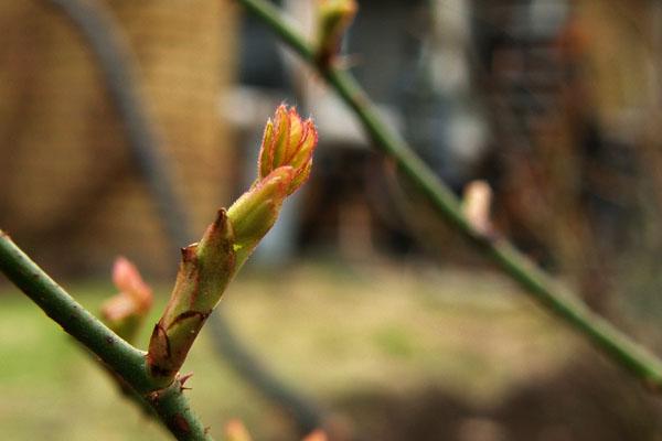 Roser på spring
