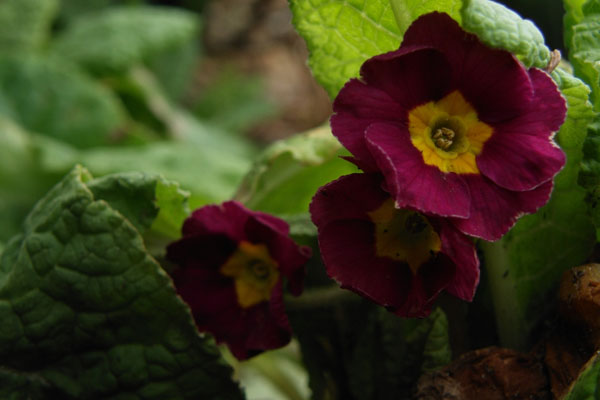 Primula eller aurikel, kært barn har mange navne...