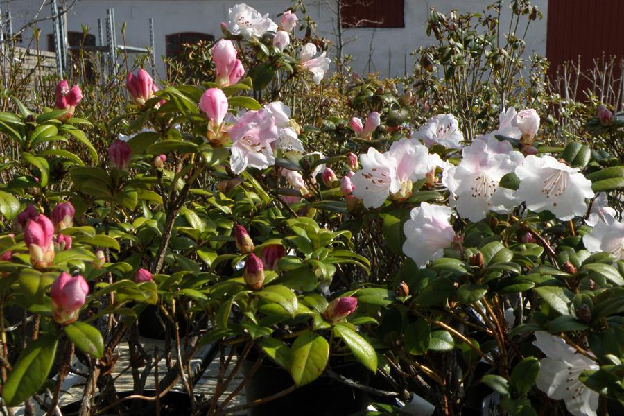 tidligt blomstrende rhododendron
