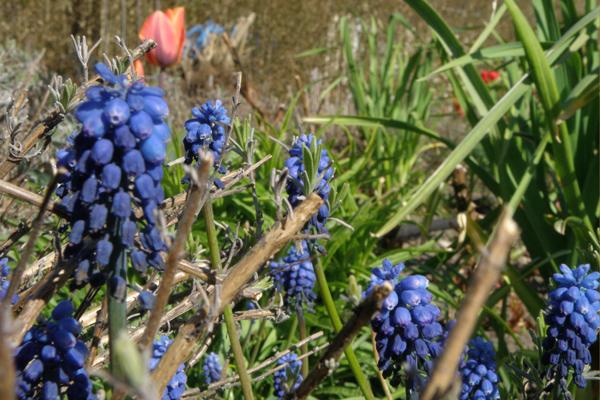 Blå, blå,  og meget mere blå perlehyasinter