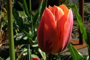smukke tulipaner i skønne farver