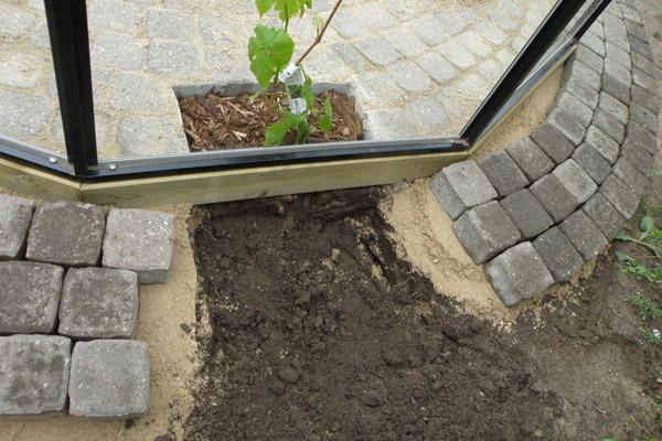 plantning af vin i drivhus