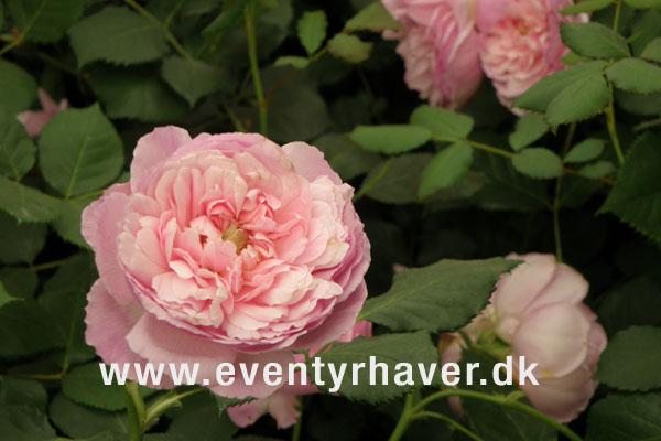 Engelsk rose Maid Marion fra David Austin