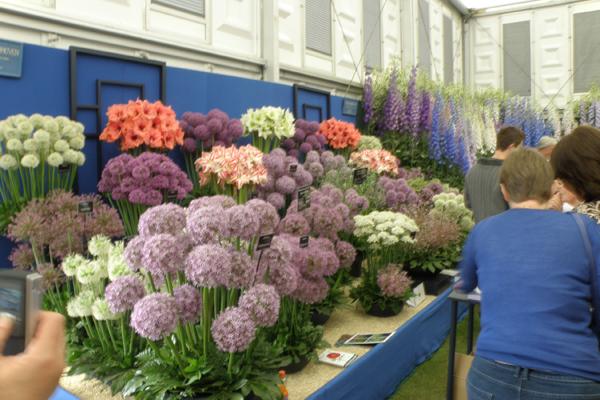 Allium i mange farver og størrelser