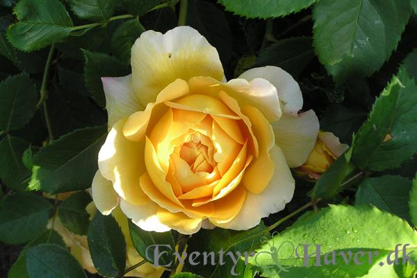 Golden Celebration rund og varm gul farve - engelsk rose fra David Austin roses