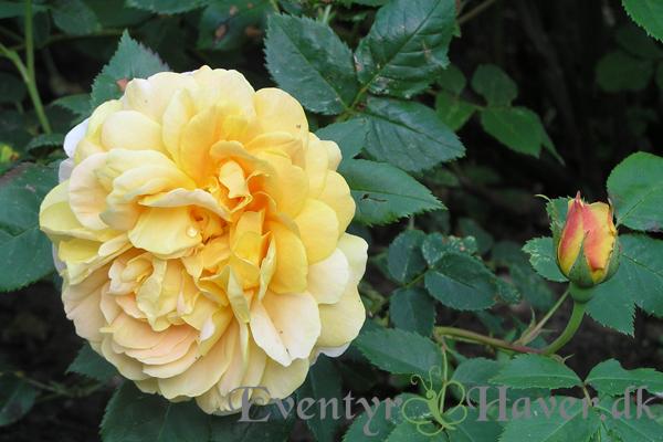 Golden Celebration udsprunget rose og rosen knop- en engelsk rose fra David Austin roses