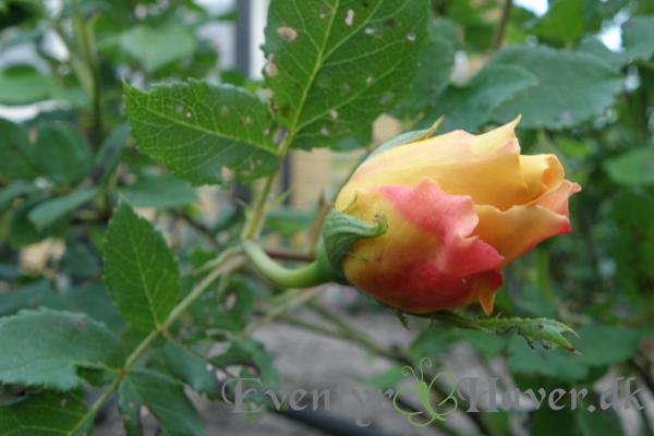 Golden Celebration rosenknop - David Austin Roses