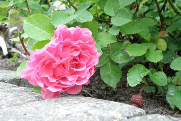 kan bruges til bundække rose Lillian Austin