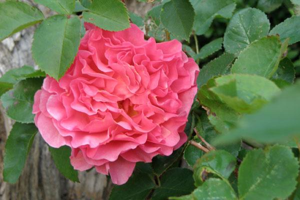 Lillian Austin engelsk rose