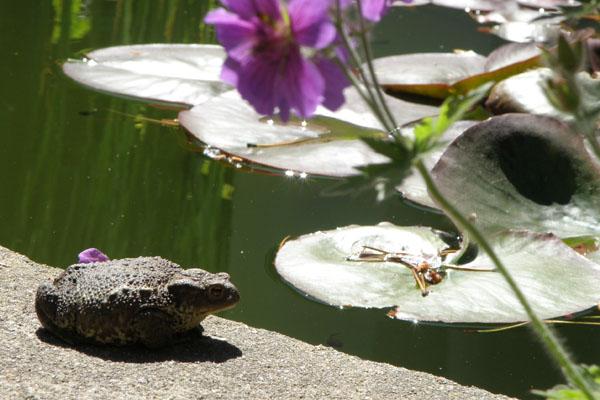 Skrubtudsen varmer sig i solen på kanten af bassinet - vand i haven skaber liv