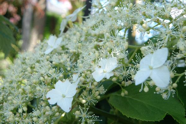 Skyer af hvide blomster