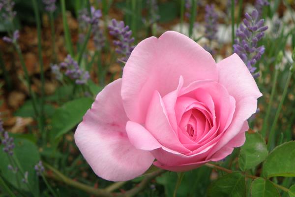 En næsten udsprungen Gertrud Jekyll - skøn og stærk engelsk rose