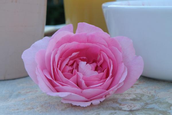 Gertryd Jekyll - smuk engelsk rose med en dejlig gammelrose duft