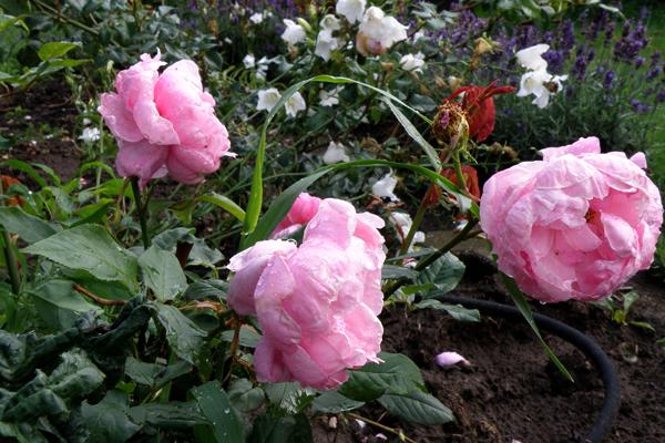Rosenbed med siveslange