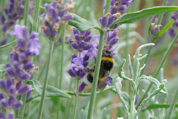 Brumbasse på jagt efter nektar