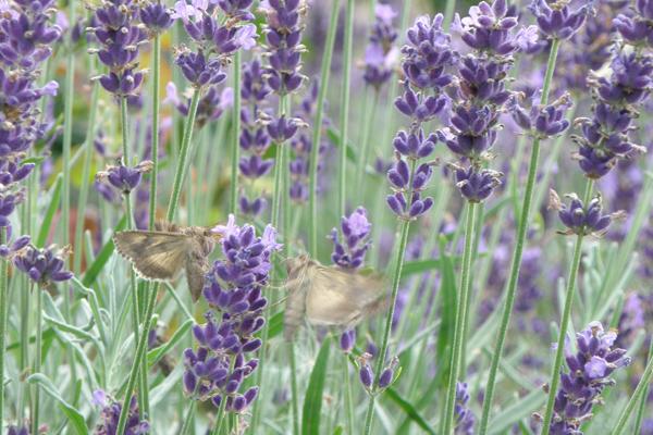 Natsværmere på jagt efter nektar i lavendlerne