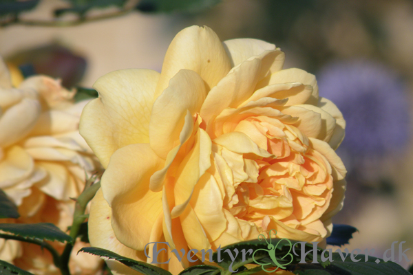 Golden Celebration roser - David Austin Roses