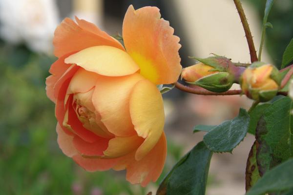 Pat Austin rose - med en dejlig stærk og skøn duft
