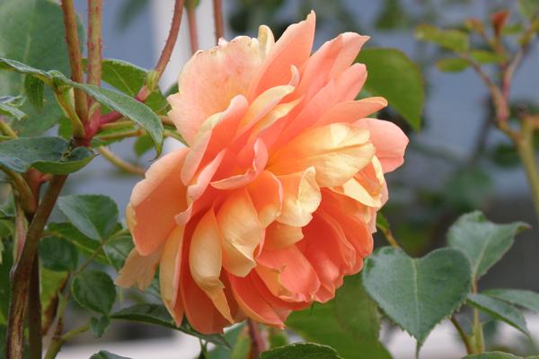 Pat Austin - engelsk rose med dejlig kraftig duft.
