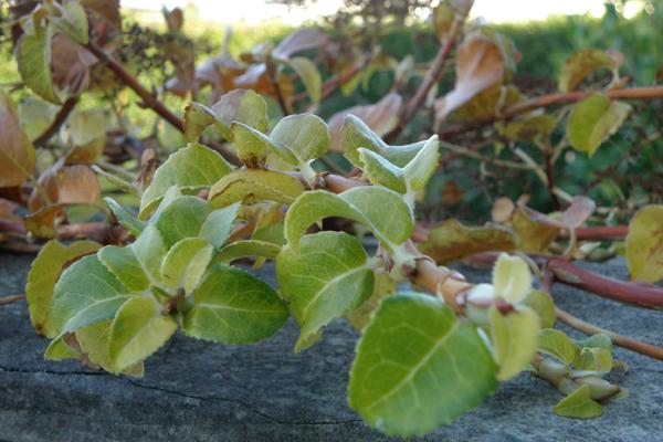 Klatrehortensia i efterårsfarver