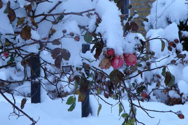 Rosa Uetersen i sne