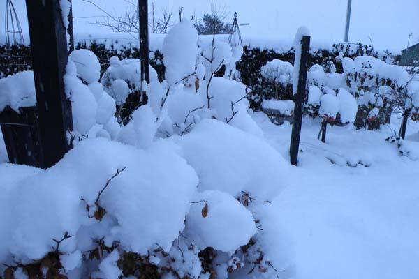 Der ligger en fin pulverdyne af sne overalt i haven
