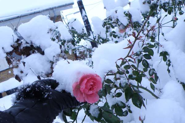 Smukt, kan man sige andet om denne rose...