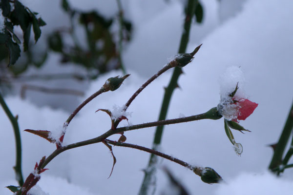 Så sart den lille rosenknop, i sne og frost