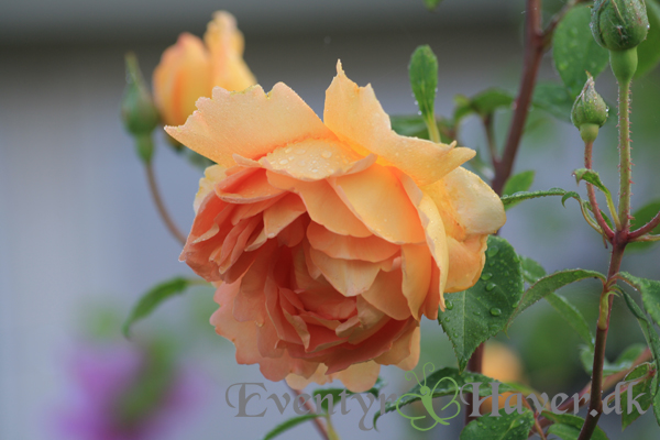 Engelsk rose Pat Austin