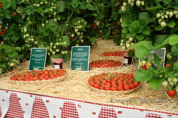 Jordbaer på Chelsea Flower Show