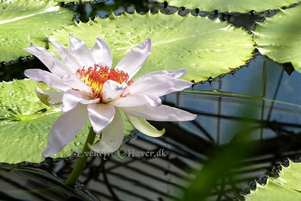 Nymphaea Kew's Kabuki