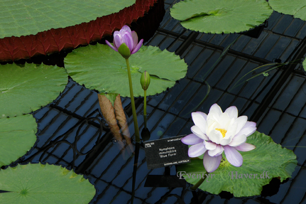 "Nymphaea immutabilis ""Blue Form"""