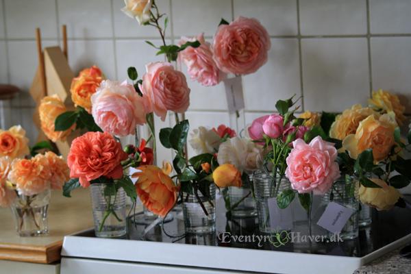 Engelske roser klar til rosenforedrag i Det Danske Rosenselskab