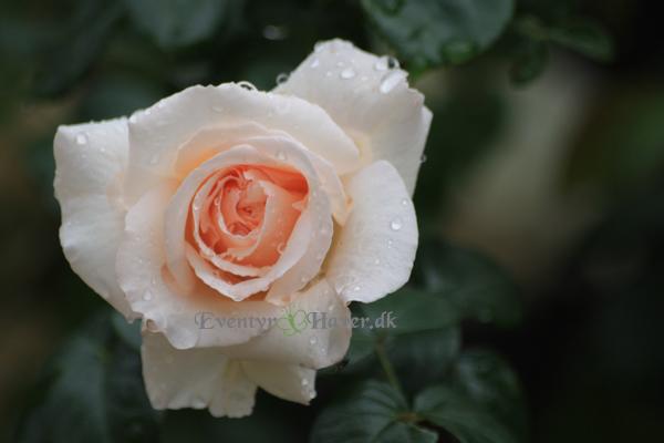 Jomfruelig rosenknop af slyngrosen Penny Lane