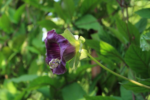 cobaea scandens - klokkeranke blå