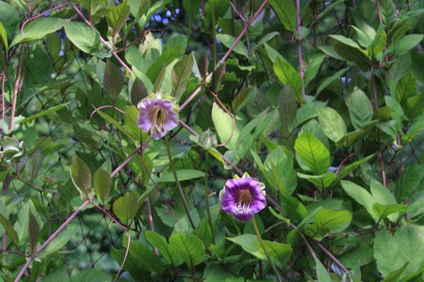 Cobaea Scandens - klokkeranke