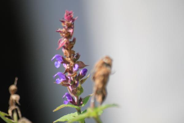 Staude salvie - Salvia nemorosa Ostfriesland