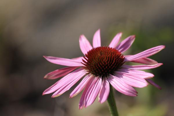 Echinisea purpurea