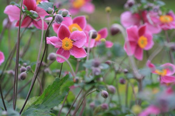 Skønne høstanemoner i mørk pink