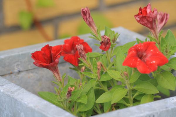 Rød hængepetunia