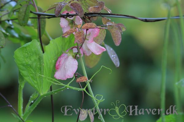 Ærteblomster - lathyrus - Diamand jubilee - eagel sweet pea