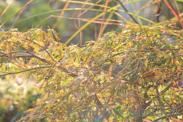 Japansk løn - Acer med efterårs farver