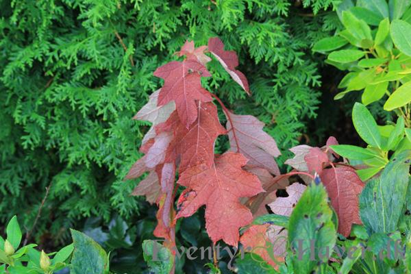 Egebladet Hortensia - Hydrangea quercifolia