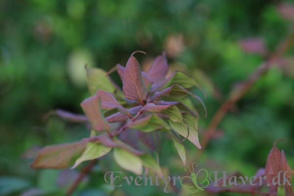 Dronningebusken - Kolkwitzia amabilis, for smukke mørke efterårs farver