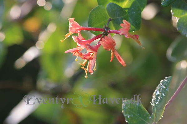 Caprifolium - stadig i blomst med skøn duft