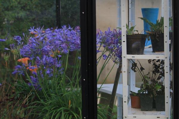 Agapanthus blomstrer helt vildt i november