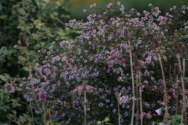 Aster i oktober en skøn efterårs blomst