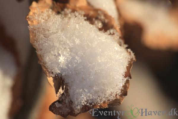 Sne og bøgeblad